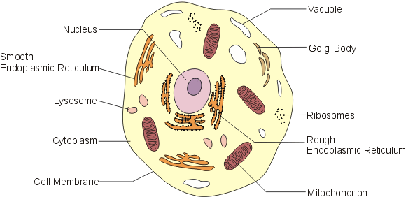 Vacuole in animal cell diagram crazywidowfo vacuole in animal cell diagram ccuart Choice Image