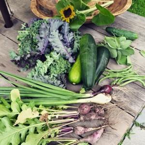 veg harvest pic