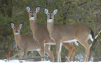 three deer in the snow
