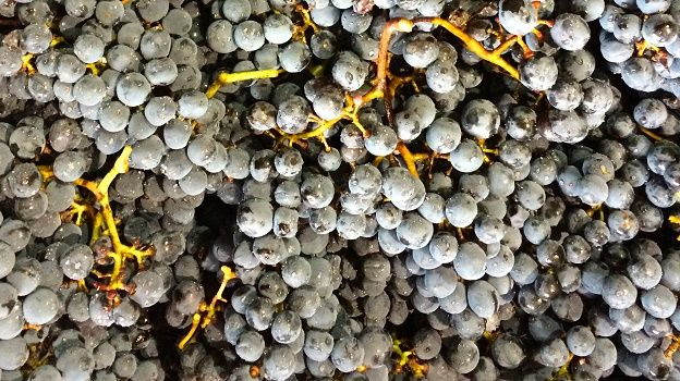 Cabernet franc at harvest 2014