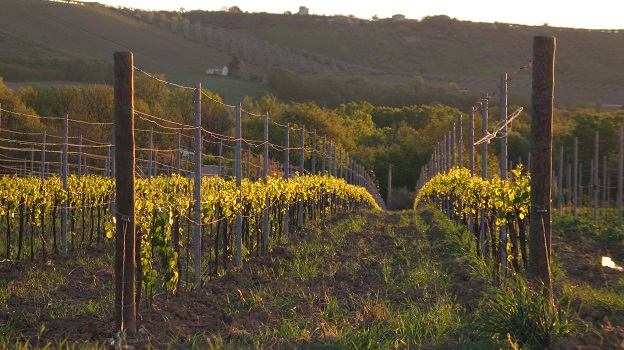 Vineyards of torre dei beati   vinous