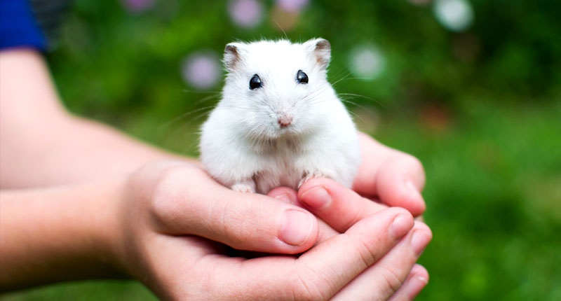 How Many Times Do You Have To Hold Your Hamster In A Day?