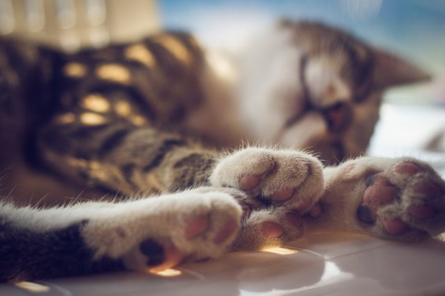 How to Deal with Cracked Paw Pads in Cats