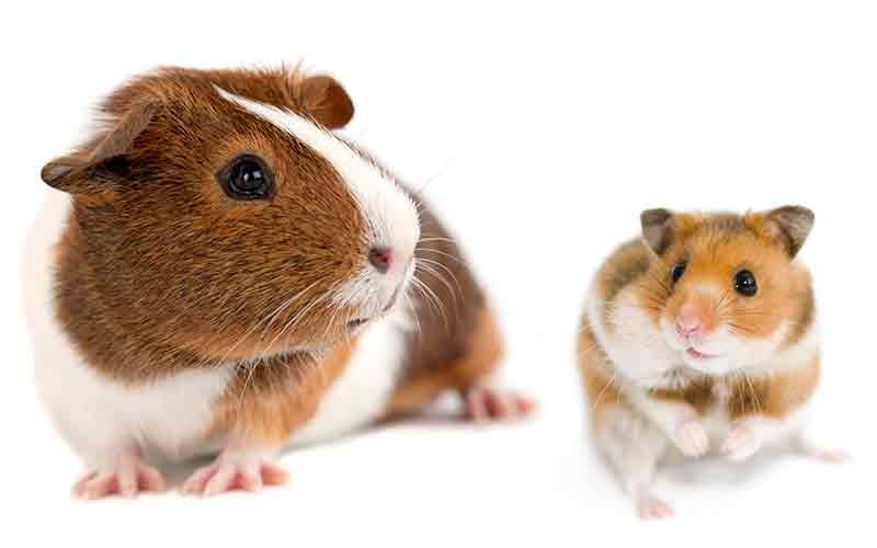 Do the Cobayes Can Categorize as Hamster?