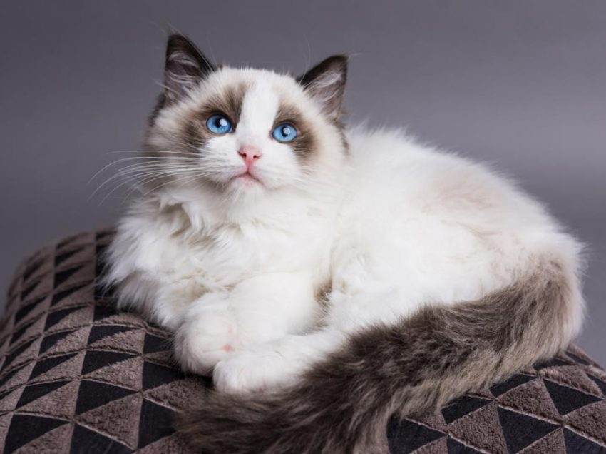All You Need to Do if You Want to Treat The Ragdoll Cat