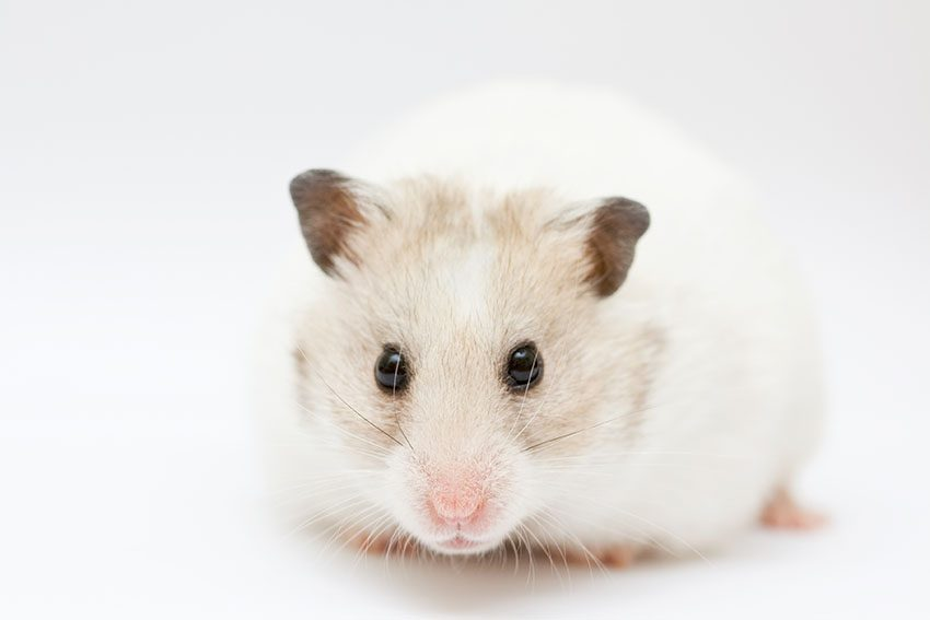 What Are the Differences Between Roborovski vs. Robo Dwarf Hamster
