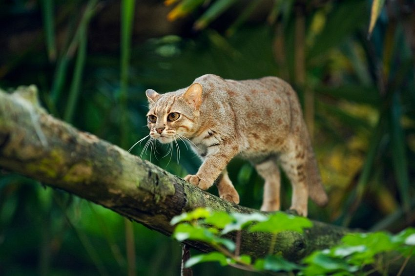 4 Unique Facts about Rusty-spotted Cat in Asia