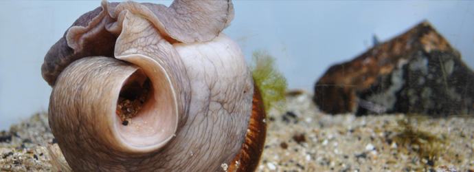 Lewis's Moon Snail
