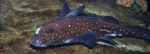 Spotted Ratfish