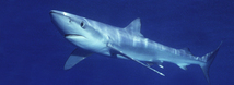 Blue Shark