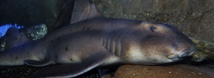 Horn Shark