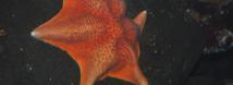 Bat Star