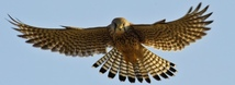 American Kestrel