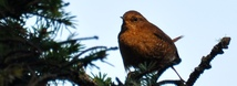 Pacific Wren