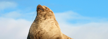 Steller Sea Lion