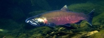 Coho Salmon