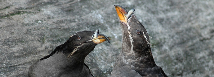 Rhinocerous Auklet