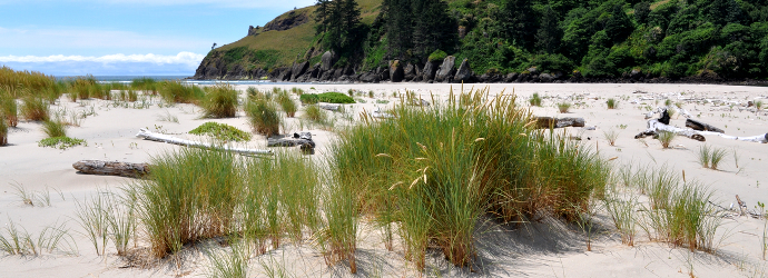 European Beach Grass