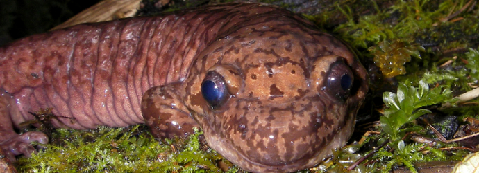 Giant Pacific Salamander