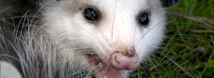 Opossum