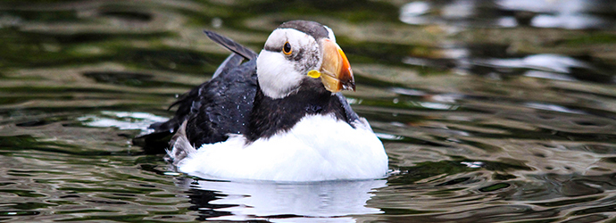 Horned Puffins Stretch Their Wings at the Oregon Coast Aquarium