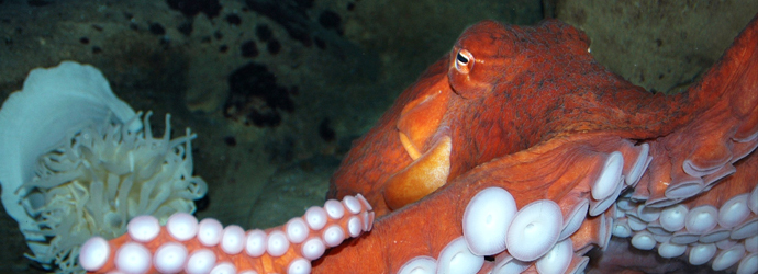 Giant Pacific Octopus Encounter