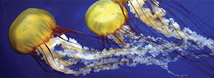 Pacific Sea Nettle