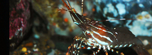 Spot Prawn