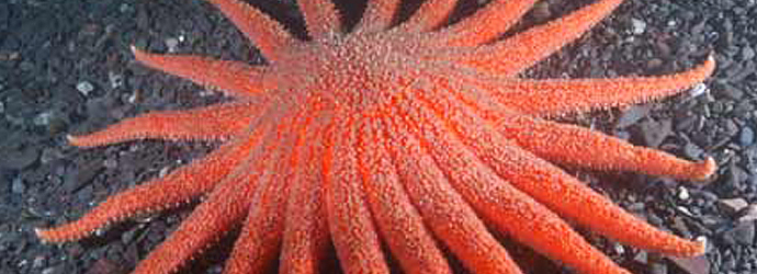 Sunflower Star