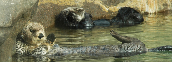 Sea Otters