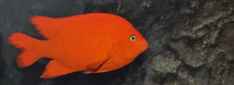 Garibaldi Damselfish