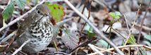 Hermit Thrush