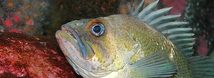 Quillback Rockfish