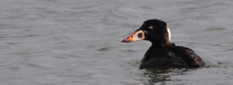 Surf Scoter