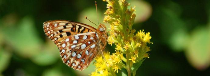 Silverspot Butterfly