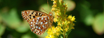 Silverspot Butterfly