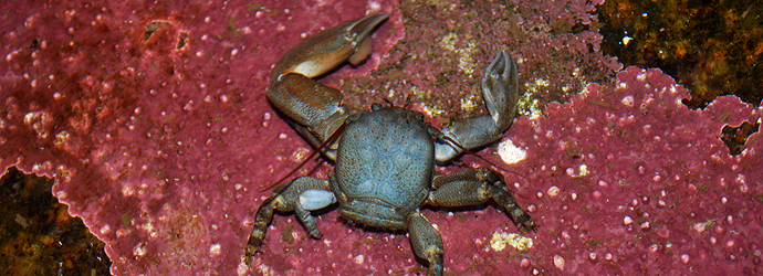 Flat Porcelain Crab