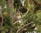 passaro-na-arvore-pinheiro-foto-de-aves-arautos-do-evangelho-divina-providencia