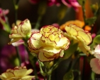 foto-de-flor-arautos-do-evangelho-divina-providencia-fotos-da-natureza-3