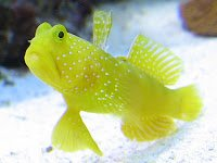 Yellow Watchman Goby.jpg