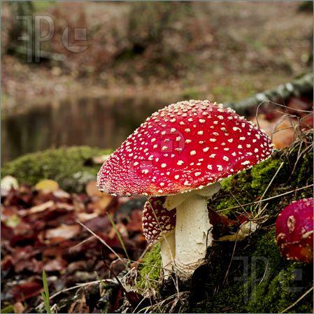 Amanita-Poisonous-Mushroom-1674154