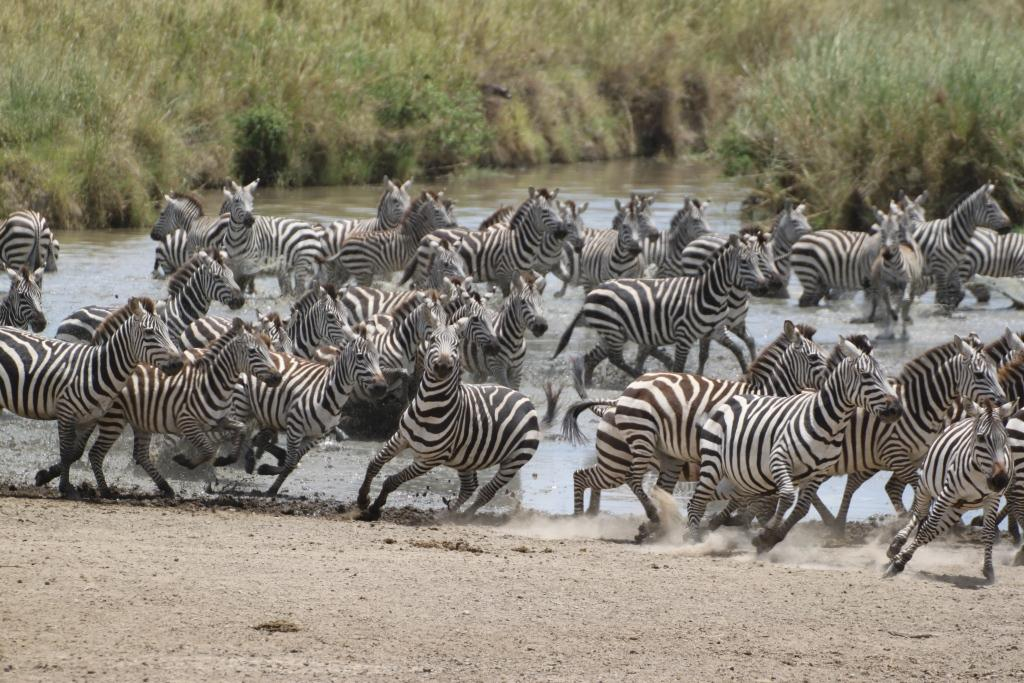 Zebra-Herd