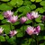 Water_lilies_tiny_square