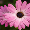 Pinkflower_thumb