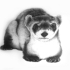 Black_footed_ferret_thumb