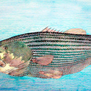 Striped-bass_card