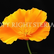 Yellow_poppy_card