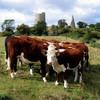 Castle_cattle_web_thumb