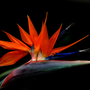 Bird_of_paradise_card