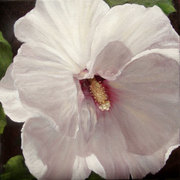 Rose-of-sharon_card